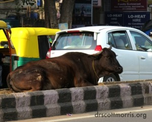 cow rests in busy Indian road